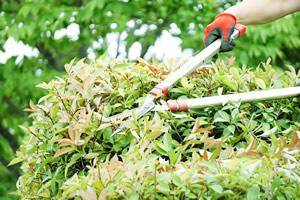高い植木の剪定